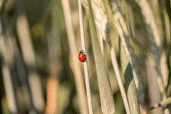 Ladybug climbing up a grass stalk Stock Photos