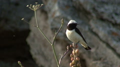 Bird Pied Wheatear hunting insects and singing on top of the rock Stock Footage