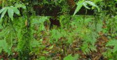 Close up tracking dolly shot of moss and ferns on tree trunk in humid climate Stock Footage