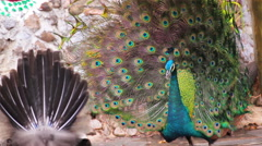 Peacock displaying colorful feathered tail with female Stock Footage