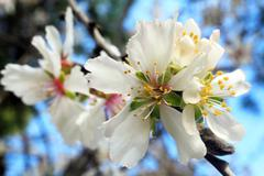 spring almond tree flowers - stock photo