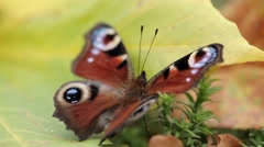 Peacock butterfly moving wings on a maple leave in fall Stock Footage