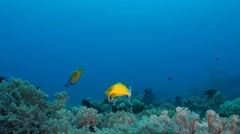 Coral reef with Foxface rabbitfish Stock Footage