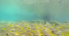 school of yellow fish off the coast of United States Virgin Islands - stock footage