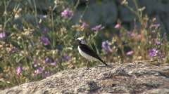 Bird Pied Wheatear hunting insects and singing on top of the rock in the field. Stock Footage