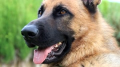 Close up of German Shepherd Dog Panting Stock Footage