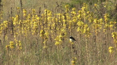 Bird Pied Wheatear singing on top of the yellow flower Stock Footage