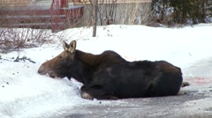 Stock Video Footage of Runaway moose in Quebec suburb and wildlife officer shoot them