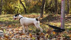 American Staffordshire Terrier on the Chain Barks  ( with sound ) Stock Footage