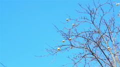 A few apples on the branch of a tree without leaves on a background of blue sky Stock Footage