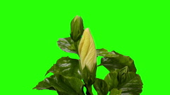 Blooming white Hibiscus flower buds green screen, FULL HD. Stock Footage