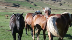 Horse black and Golden brown color graze Stock Footage