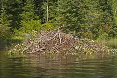 Stock Photo of beaver lodge on a wilderness river