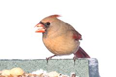 Cardinal on a feeder - isolated on white Stock Photos