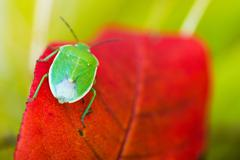 green stink bug in macro photography. green stink bug - stock photo