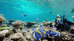Surgeonfishes are shoaling in the maldives - stock footage