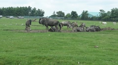 Wildebeest in the field Stock Footage