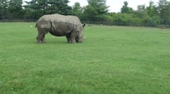 Rhino in the pasture on a sunny day Stock Footage