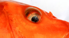 Eyes and mouth of fish Stock Footage