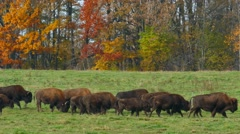 Herd of Buffalo Walking and Grazing in Colorful Autumn Setting Stock Footage