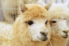 two fluffy alpacas - stock photo