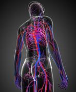 Stock Illustration of male circulatory system
