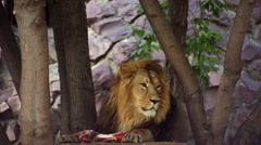 Eye contact with a lion, lying with meat lump among tree on rocky background - stock footage