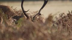 Lip curling Red Deer stag Stock Footage