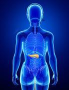 Female pancreas anatomy Stock Illustration