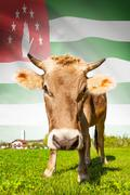 cow with flag on background series - abkhazia - stock photo