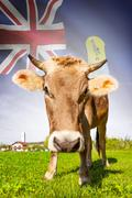 cow with flag on background series - saint helena - stock photo