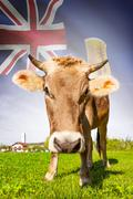 cow with flag on background series - turks and caicos islands - stock photo