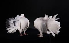 two white pigeons - stock photo