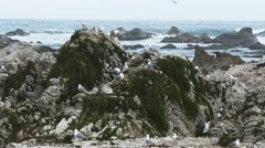 Kaikoura sea gull colony Stock Footage