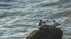 Tern with fish Stock Footage