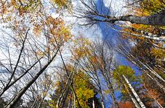 autumn tree canopy in the forest - stock photo