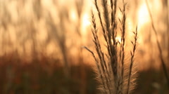 Extreme close up shot of Silver feather grass swaying in wind at sunset Stock Footage