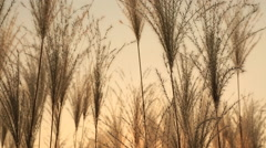 Silver feather grass swaying in wind at sunset Stock Footage