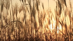Stock Video Footage of Pan right shot of Silver feather grass swaying in wind at sunset