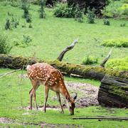 one fallow deer is grazing - stock photo