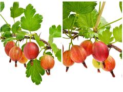 Red gooseberry with green leaves Stock Photos