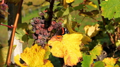 Butterfly on the grapevine with withered red grapes on sunny autumn day Stock Footage