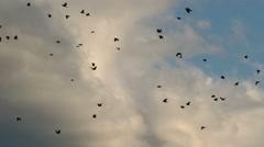 A Flock of Crows In Flight Stock Footage