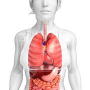 Digestive system of female body Stock Illustration