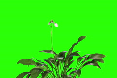 4K. Blooming violet hosta flower buds green screen, FULL HD Stock Footage