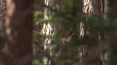 Fir trees in the woods, coppice, filmed in the austrian alps Stock Footage