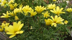 Yellow daisies in garden 1236 Stock Footage