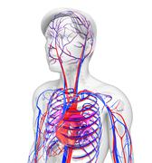 Stock Illustration of male heart circulatory system