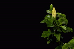 4K. Blooming white Hibiscus flower buds ALPHA matte, Ultra HD Stock Footage