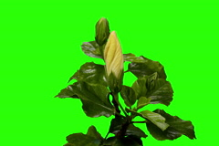 4K. Blooming white Hibiscus flower buds green screen, Ultra HD Stock Footage
